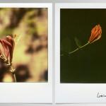 #florilege# Hydrangea et lonicera …