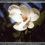 Magnolia, close-up pour Polaroid 240 et photos noires …