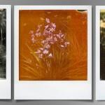 #florilege# Variantes «polaroides» pour Hyacinthus …