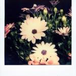 #florilege# … Osteospermum