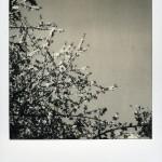 Un pola noir et blanc ne fait pas le printemps … mais il y contribue